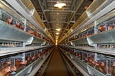 visit to the large scale poultry farm in Europe